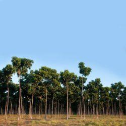 Mogno africano 5 anos de idade irrigado- Pirapora (1)