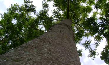 cedro australiano